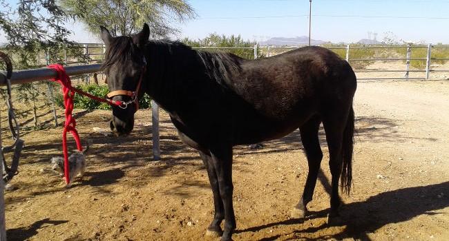 Adoptable Mustang: Faith