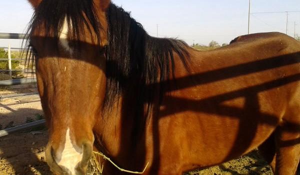 Adoptable Horse: Nevada
